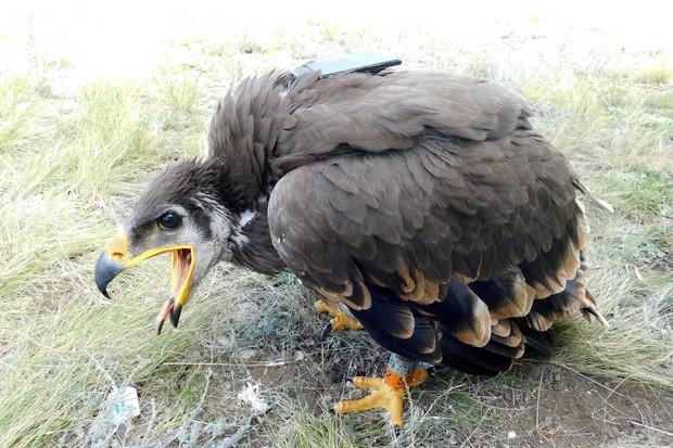 Migrující orli vytvořili pěkně tučný účet za telefon