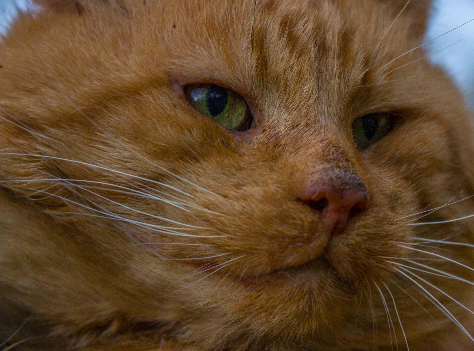 Kocour - close up