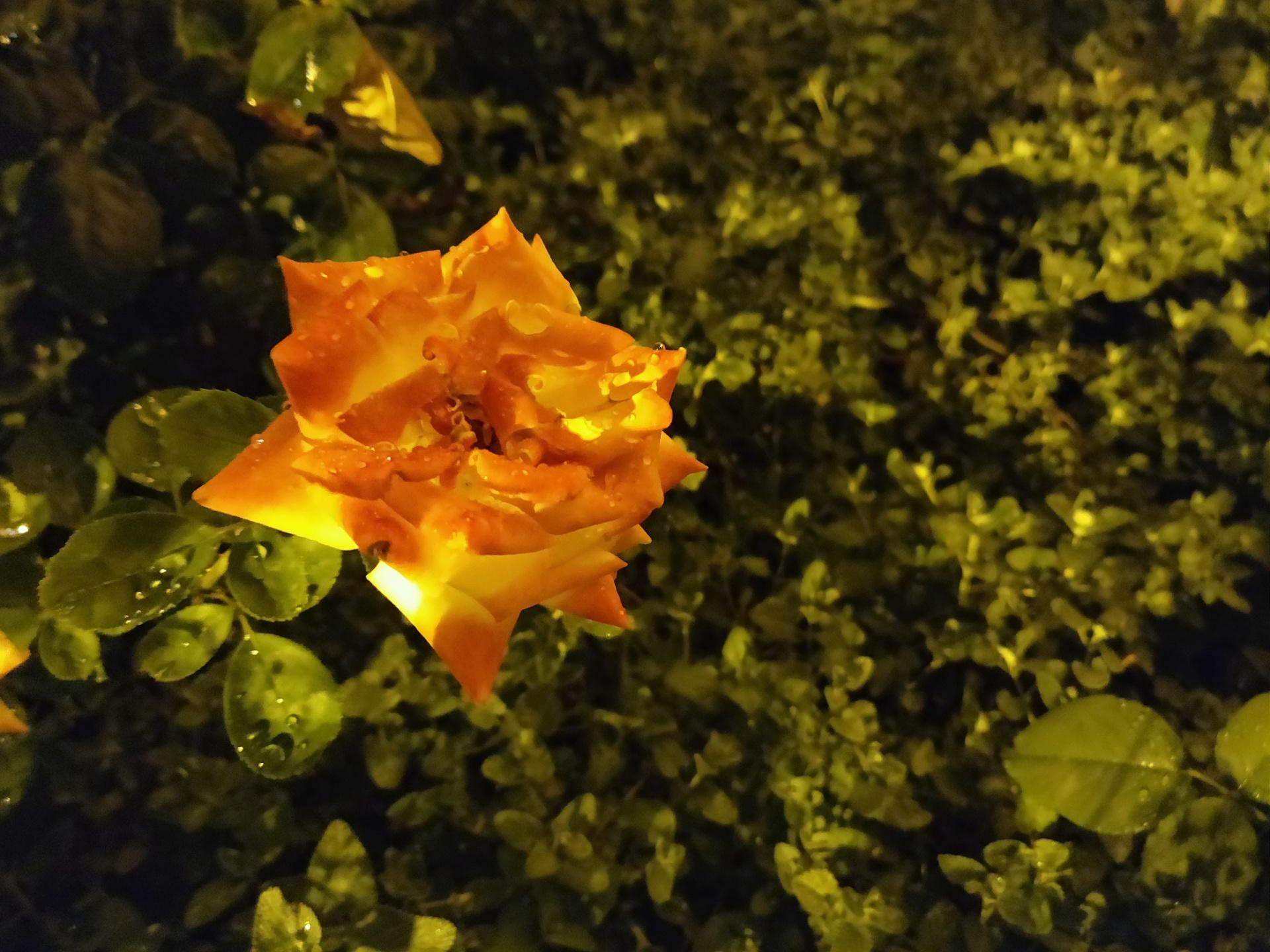 Květina - bez blesku