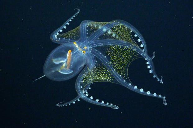 Vědci v hlubinách oceánu natočili vzácné chobotnice
