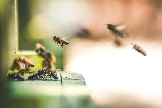 Kofein pomáhá k lepším výkonům i včelám