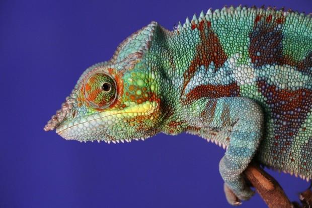 Robotický chameleon mění barvy stejně dobře jako živý