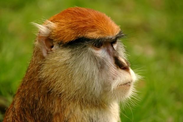 Pomůže rozpoznávání obličeje ohroženým primátům?