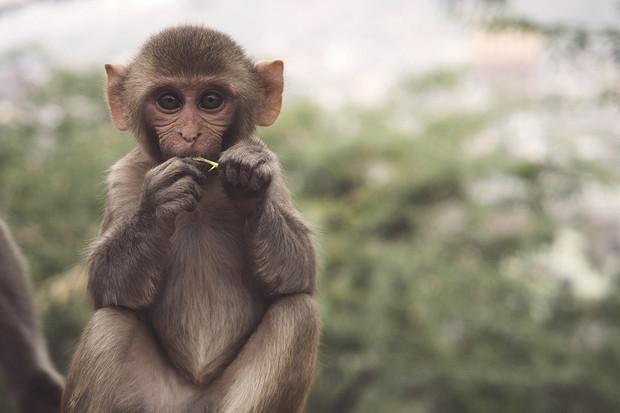 Gen nalezený u opic a myší by mohl pomoci v boji se smrtelnými nemoci