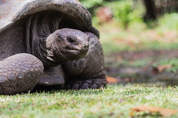 Vědci na Galapagách objevili želvu, která byla považována za vyhynulou